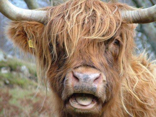 Морда коровы хайленд