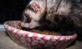 Чем кормить хорьков в домашних условиях