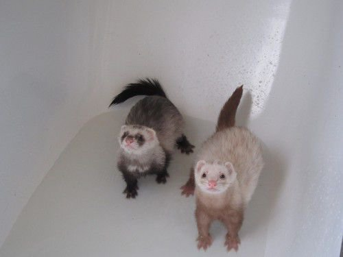Хорьки в ванной