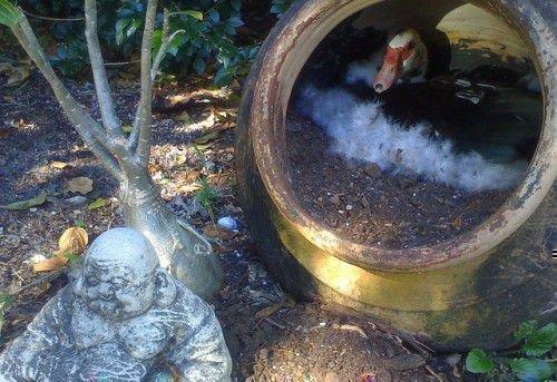 Индоутка сидит в гнезде