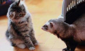 Может ли хорек ужиться с кошкой?