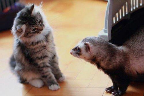 Кот и хорек