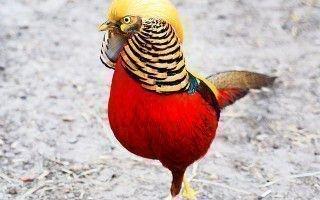 Обзор самых популярных пород фазанов