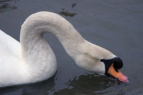 Лебедь ест