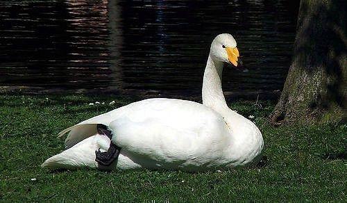 Лебедь-кликун лежит