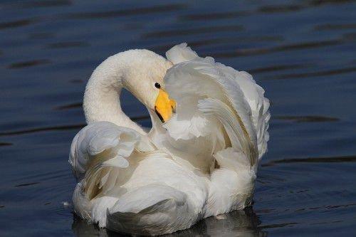 Лебедь кликун в воде
