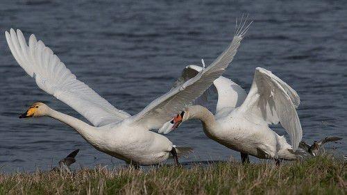 Лебедь-кликун взлетает