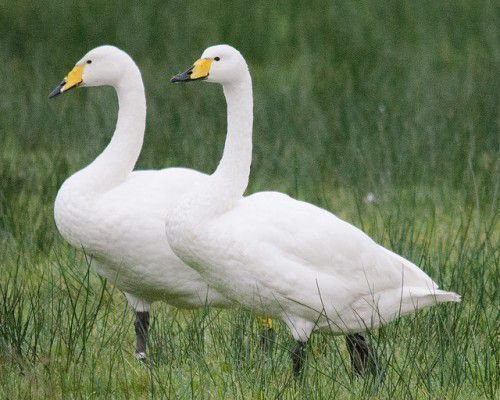 Лебеди-кликуны