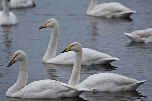 Лебеди-кликуны плывут