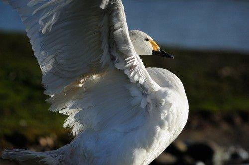 Малый лебедь машет крыльями