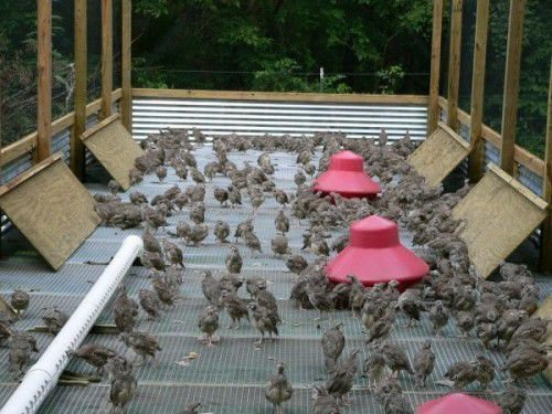 Молодняк фазанов в клетке