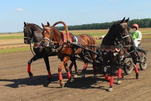 Орловские кони в упряжке