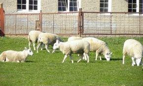 Овцеводство, как бизнес: советы начинающему фермеру