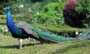 Классификация птицы павлин