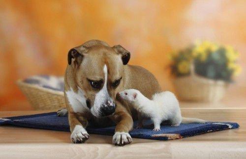 Собака и хорек