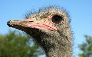Особенности африканского страуса
