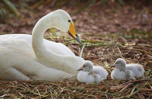 Птенцы лебедя-кликуна
