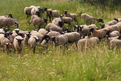 Романовские овцы на лугу