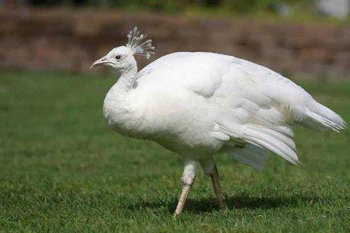 Самка белого павлина