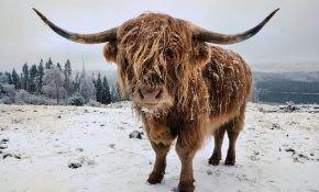 Хайленд – шотландская высокогорная корова
