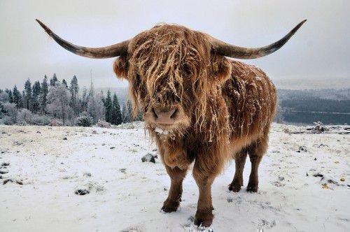 Шотландская корова зимой