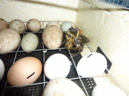 Утенок и яйца