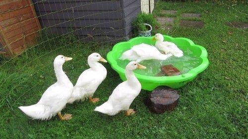 Утки плавают в тазу