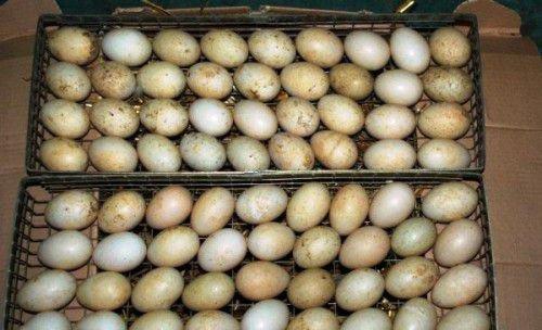 Яйца утки в инкубаторе