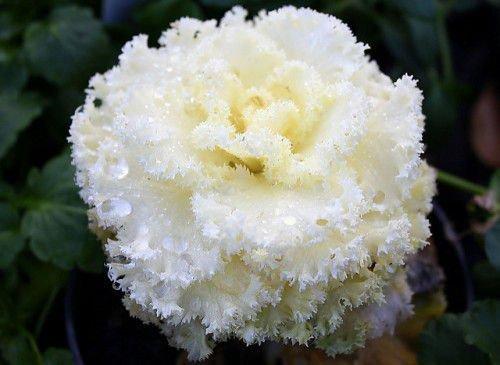 Белая декоративная капуста