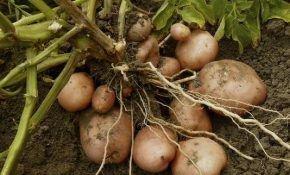 Как вырастить картофель и получить хороший урожай