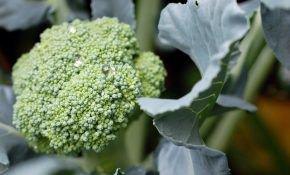 Уход и выращивание капусты брокколи