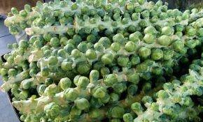 Брюссельская капуста: тонкости посадки и выращивания
