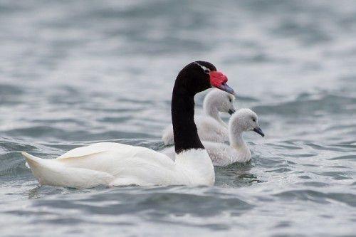 Черношейный лебедь с птенцами
