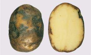 Фитофтороз: признаки болезни и способы лечения картофеля
