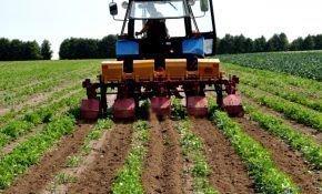 Как выращивать картофель по голландской технологии?