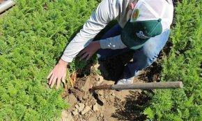 Правила посадки моркови на Урале