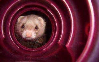 Самодельные игрушки и туннели для хорька