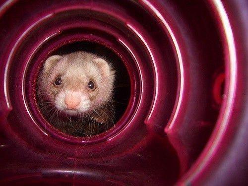 Хорек в тоннеле