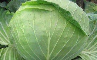 Выращивание позднеспелых сортов капусты для длительного хранения
