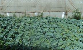 Посадка сортов капусты в теплицу