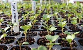 Выращивание капусты на рассаду в Сибири
