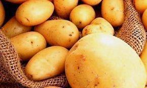 Популярный картофель сорта импала