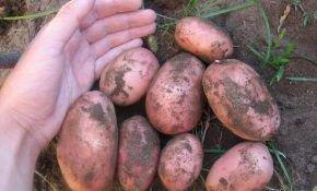 Ранний сорт картофеля: Жуковский