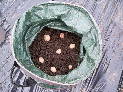 Выращивание картофеля в бочке с землей