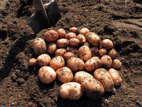 Картошка Аврора