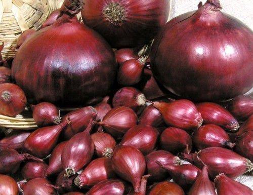 Красный лук севок