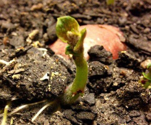 Крепкий росток картошки