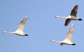 Лебедь — это перелетный вид птицы или же нет