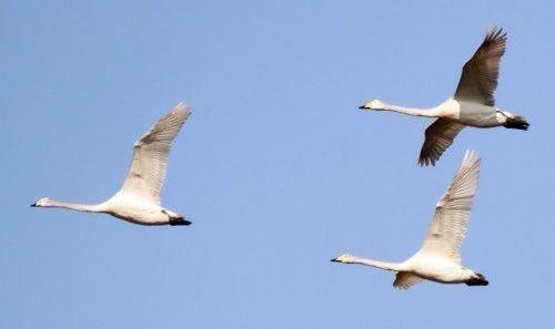 Лебеди улетают на юг