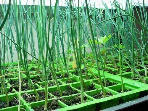 Лук на перо в теплице из семян